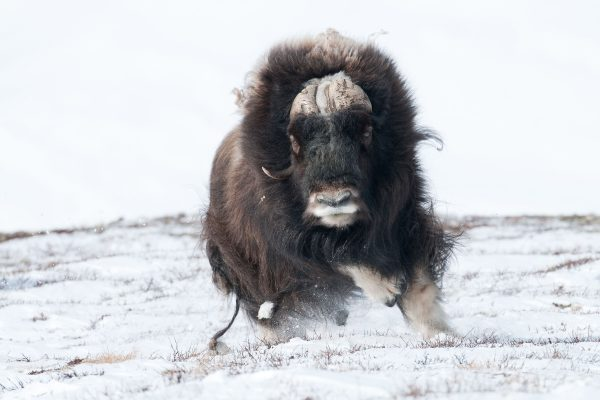 In a two-year-project; I'd photographed the living of Muskoxen In Dovrefjell Nationalpark/Norway esp. in winter. One time; I'd followed a herd of 6 male musoxen over some weeks. After a time, I could get scenes, that are for me unique.