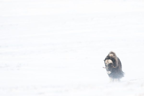 In a two-year-project; I'd photographed the living of Muskoxen In Dovrefjell Nationalpark/Norway esp. in winter. One time; I'd followed a herd of 6 male musoxen over some weeks. After a time; I could go nearer carfully and took this portrait.