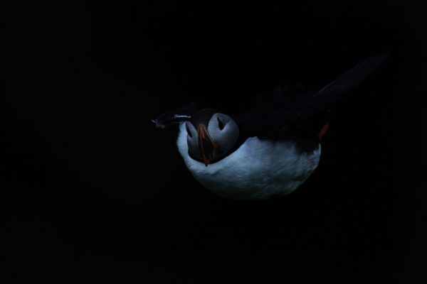 puffin_night